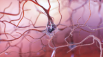 Neurons Get the Beat and Keep It Going in Drumrolls